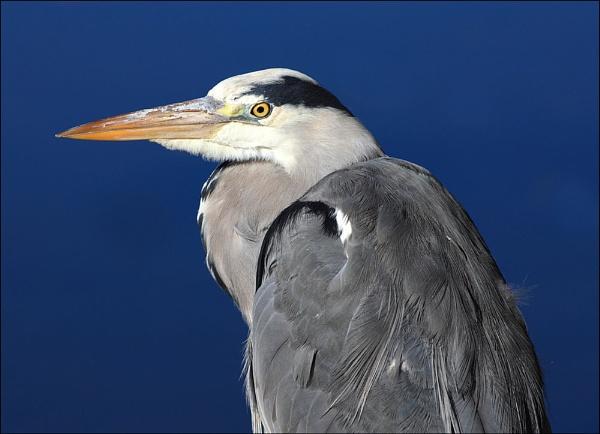 Grey Heron by carrigman