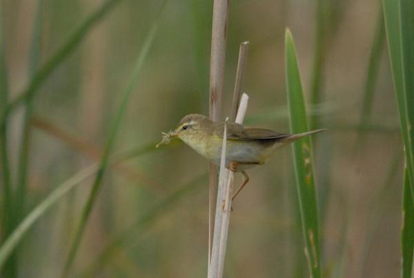 willow warbler by manorjim