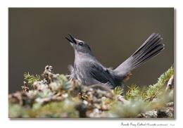 Female Gray Catbird (Dumetella carolinensis)