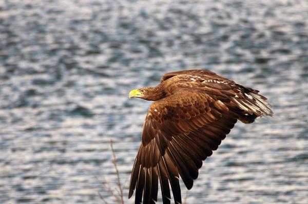 Eagle by WalidD300