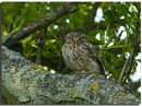 Little Owl by VidB