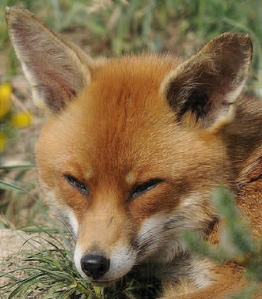 fox by bertty