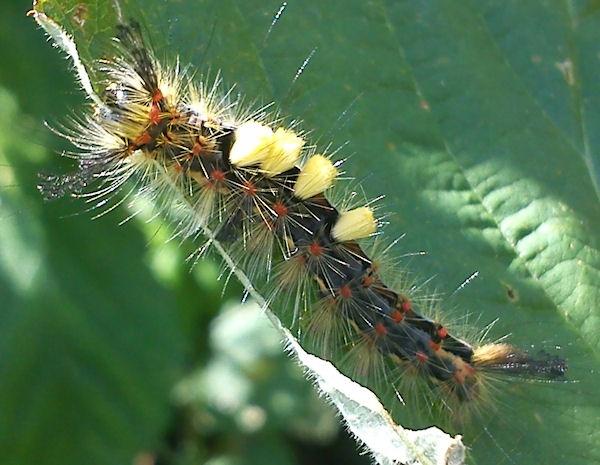 Vapourer Moth Caterpillar by IOWAndy