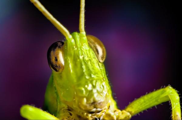 Grasshoppa by gnovey