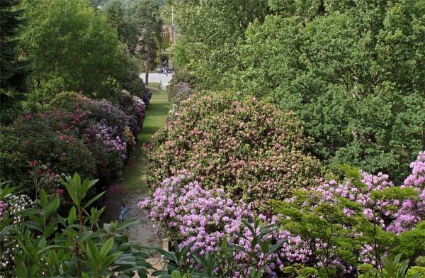 Rhododendron Walk by VivienO
