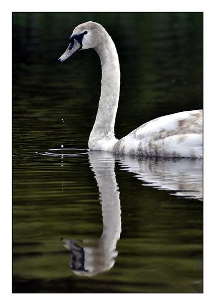 swan by photoflacky