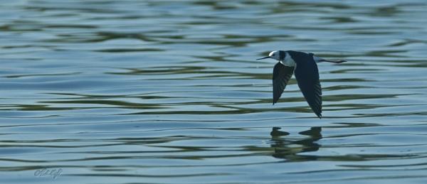 Pied Stilt 0017 on Lake Horowhenua by paulknight