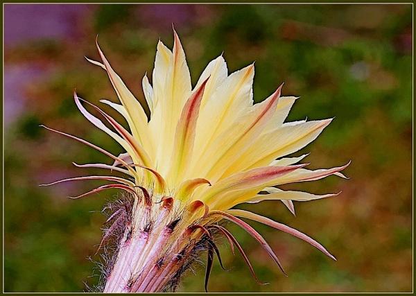 Echinopsis hybrids by Balwant