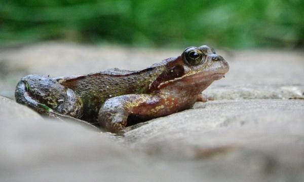 Common frog II by Samuel_Aron