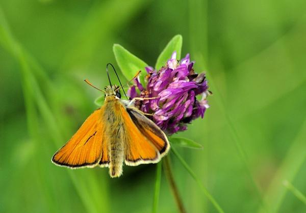 Pollinator by gabriel_flr