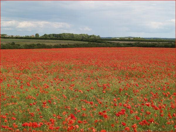 Poppy field near Elmton, Derbyshire by peterkin