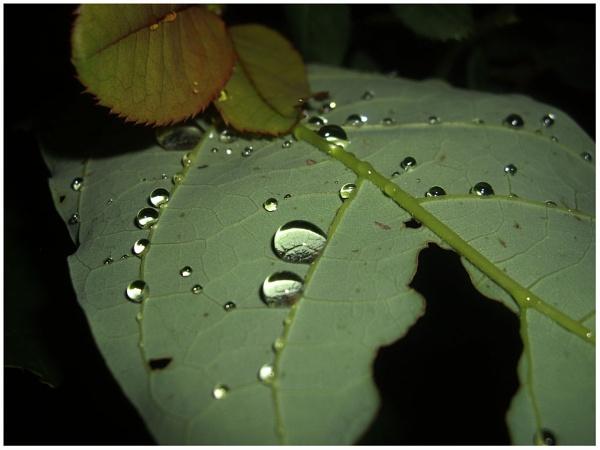 Dew drop by Nikola