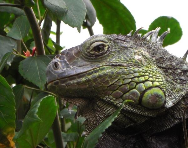 iguana by leonosullivan