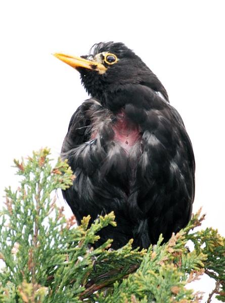 Scraggy Black Bird by Metro6R4