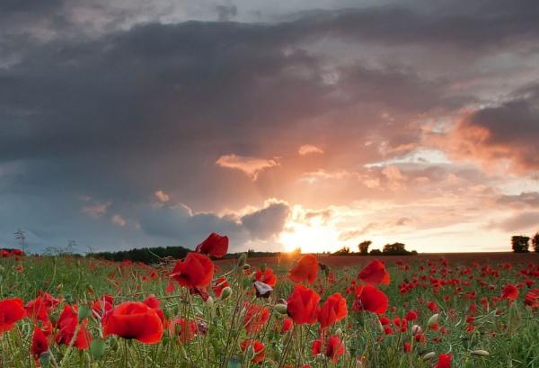 poppy by williamthorpe271