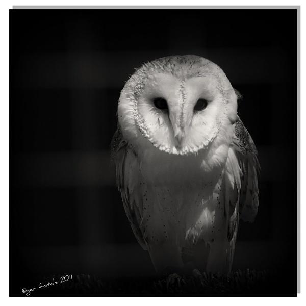 barn owl by yaco