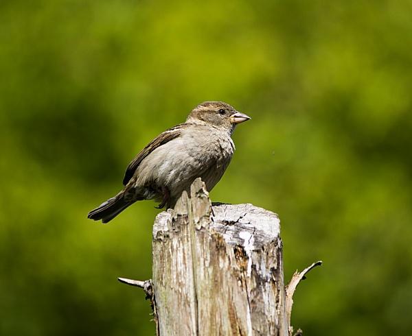 Sparrow by waylandtb