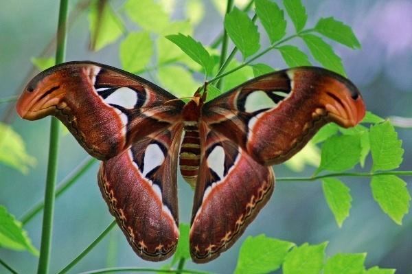 Atlas moth by Janice20
