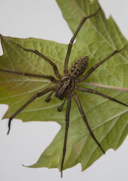 Grass Spider (Agelenopsis)....2 by Richard_Prior