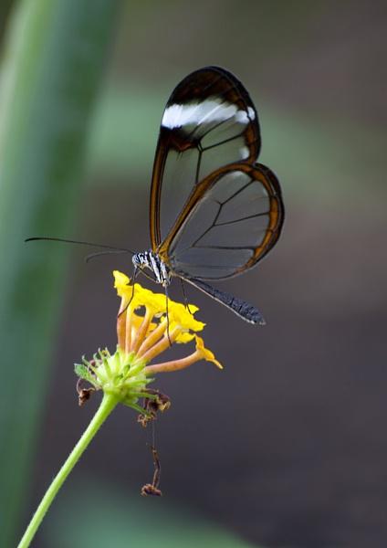Glasswing Butterfly (Greta Oto) by Richard_Prior