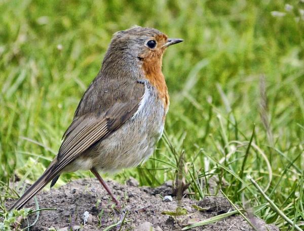 Robin at Gawthorpe by heron