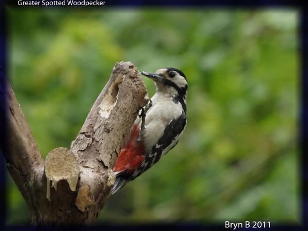 Woodpecker by heron