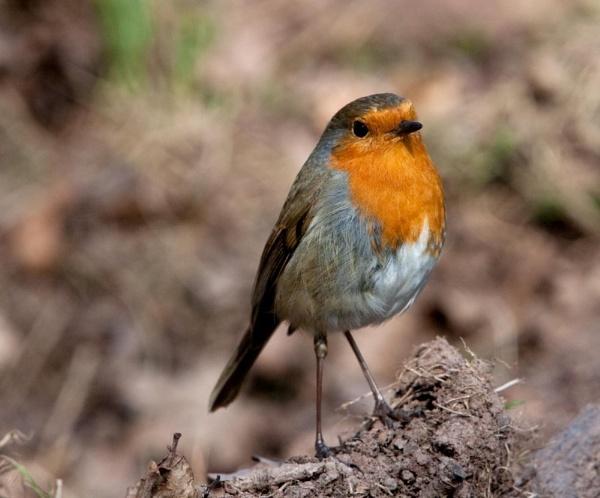 Robin by trevsmith00