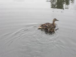 ducks on canal 12/6/2011