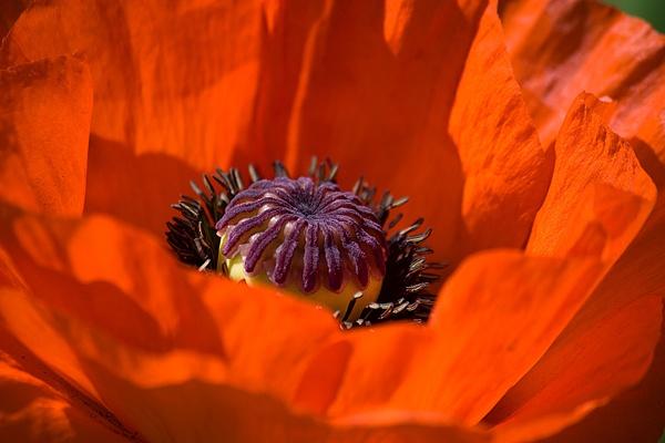 Orange poppy by pfairhurst