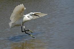 Snowy Egret in Mallorca