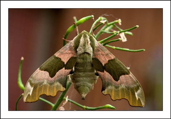 Lime Hawk-moth by tomcat