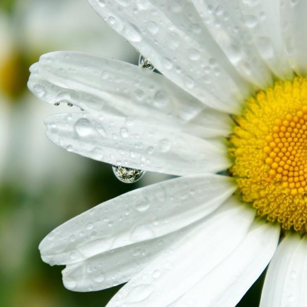 Daisy in the rain by betttynoir