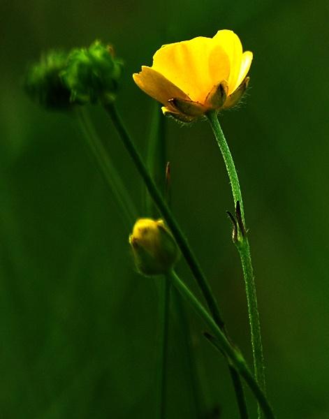 Meadow flower by Oldroadster