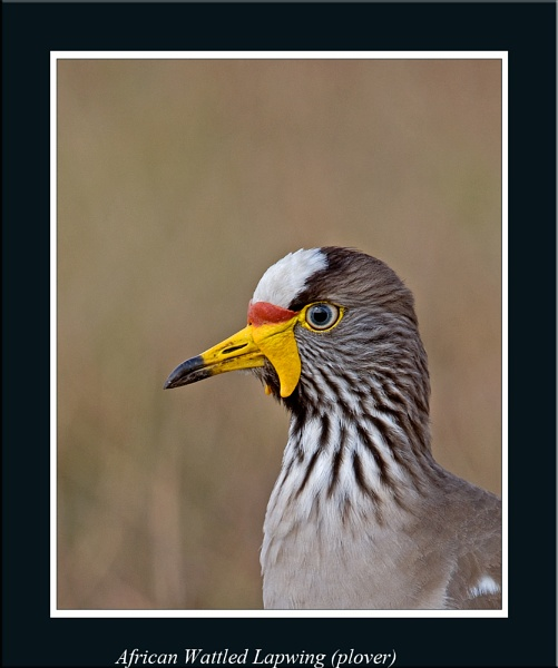 African Wattled Lapwing (plover) by Gezina