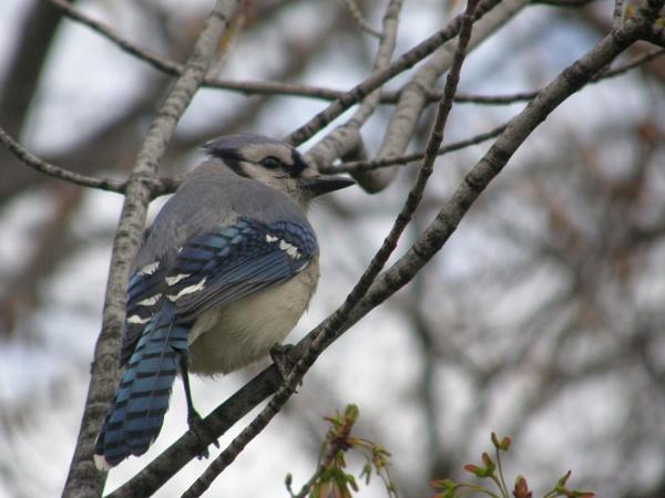 American Blue Jay by MandyS