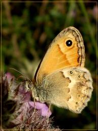 Cretan small heath butterfly