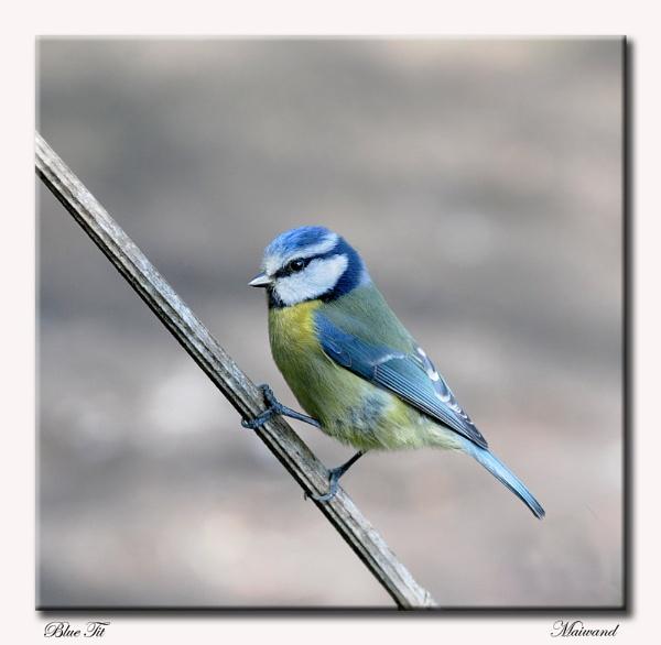 Blue Beauty. by Maiwand