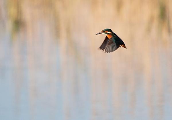 flying kingfisher by sheepdogshady