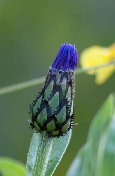 blue bud by elmer1