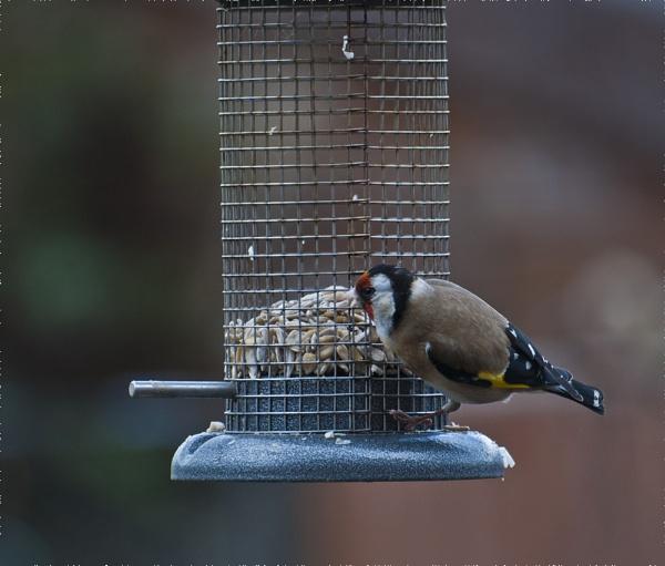 Goldfinch. by gaelldew