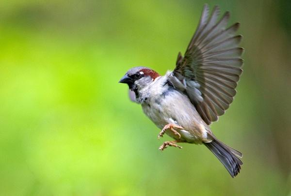 House Sparrow by Phatboy