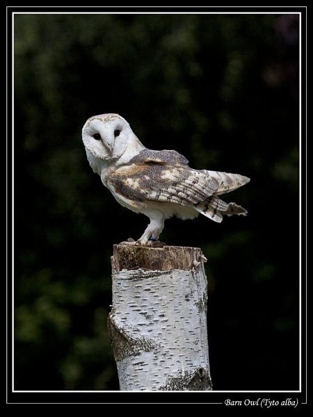 Barn Owl (Tyto alba) by Ray42