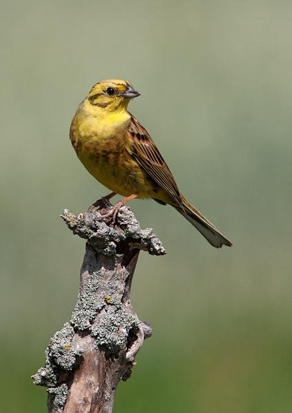 Yellowhammer by Dreameruk