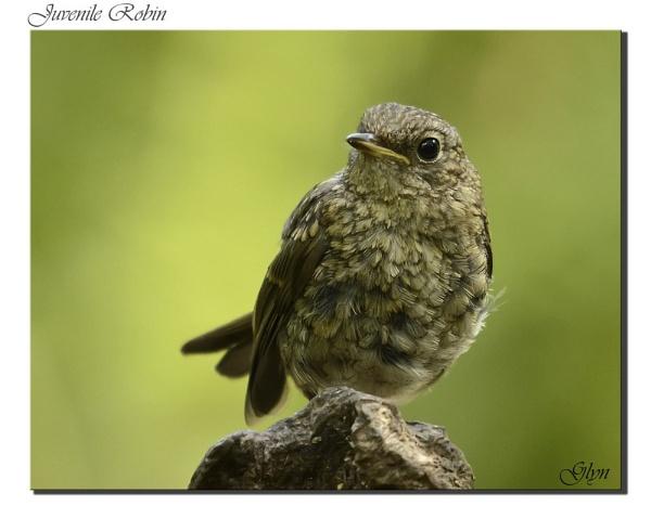Juvenile robin by Glyn1