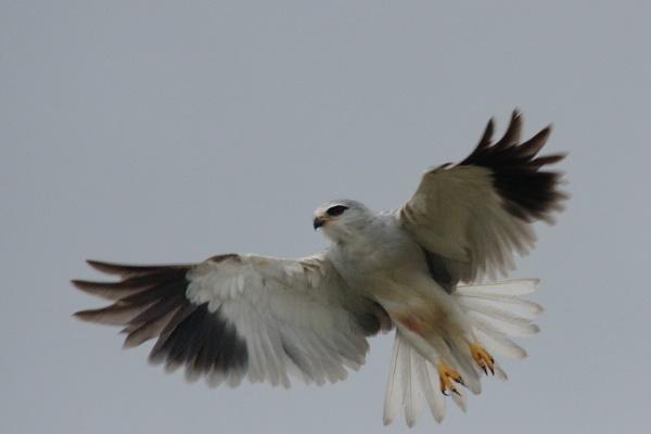Black shouldered Kite by DennisT
