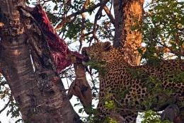 Leopard at Dinner