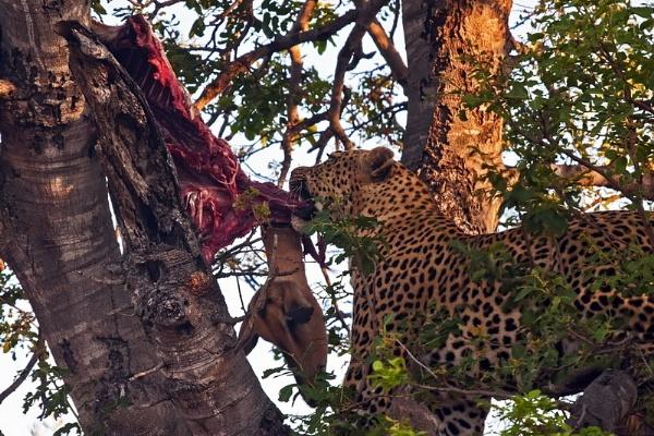 Leopard at Dinner by DennisT