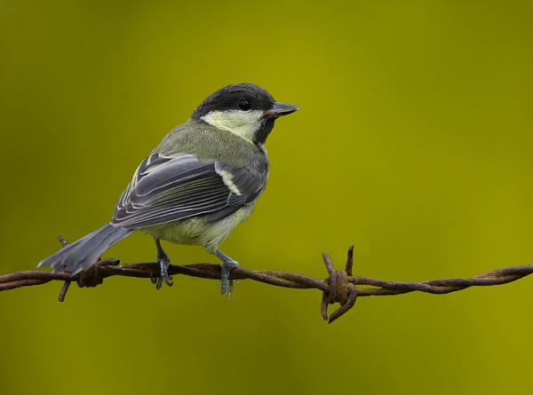 Great Tit by LukeParkinson