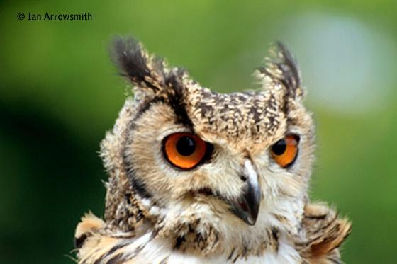 Beautiful Eagle Owl by Arras