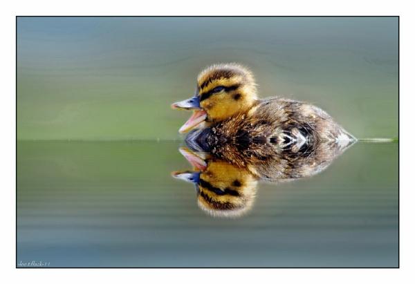 quack quack by photoflacky